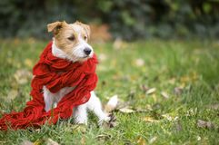 Cute pet dog as wearing red scarf - christmas card, winter conce royalty free stock photo