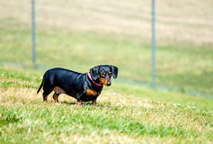 Cute pet dog on grassland Stock Photography
