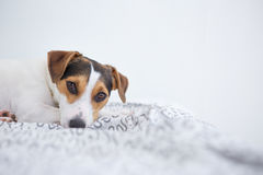 Cute pet dog lying on bed Royalty Free Stock Images