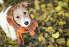 Cute pet dog wearing a scarf. Cute happy jack russell pet dog puppy wearing a scarf - christmas card, cold winter or autumn concept royalty free stock photo