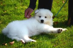 A cute pet dog, a white Japanese spitz puppy, on the street on a sunny summer day. A cute pet dog, a white Japanese spitz puppy, on the street on a sunny day stock photography