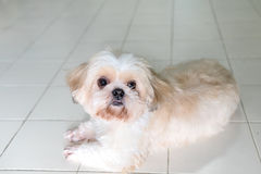 Cute pet dogs. Taken in the house stock photo
