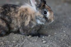 Cute dwarf rabbit digging a hole. Cute pet dwarf rabbit digging a hole in the ground outdoors stock photo