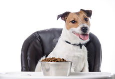 Cute pet and food in bowl. Jack Russell Terrier on a chair eating dog food Stock Photo