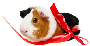 Cute pet guinea pig Royalty Free Stock Images