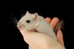 Cute pet mouse. In human hand isolated on black background royalty free stock photo