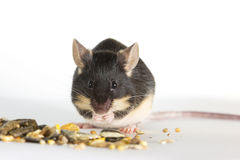 Cute pet mouse feeding Royalty Free Stock Images