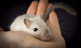 Cute pet mouse. Cute pet gerbil in human hand over black background Royalty Free Stock Images