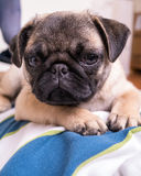 Cute Pet Pug Puppy on Boy's Chest Royalty Free Stock Image