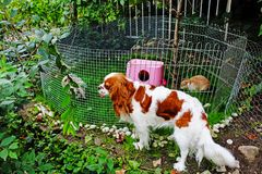 Cute pet rabbit outdoor playground. Cage coop hutch. Lop eared rabbits bunny pets play in the garden. Cute bunnies Royalty Free Stock Image