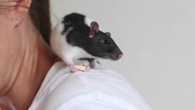 Cute pet rat is eating a piece of food sitting on woman`s shoulder. stock video footage