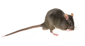 Cute pet rat Stock Image