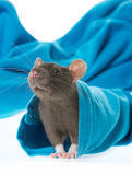 Cute pet rat in a sleeve Royalty Free Stock Photo