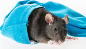 Cute pet rat in a sleeve Royalty Free Stock Photos