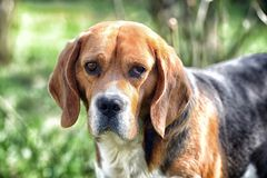 Cute pet on sunny day. Dog with long ears on summer outdoor. Beagle walk on fresh air. Companion or friend and. Friendship concept. Hunting and detection dog Royalty Free Stock Photography