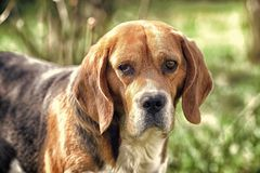 Cute pet on sunny day. Dog with long ears on summer outdoor. Beagle walk on fresh air. Companion or friend and. Friendship concept. Hunting and detection dog royalty free stock photos