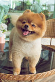 Cute pets, a little pomeranian dog smiling Stock Photo