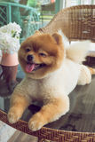 Cute pets, a little pomeranian dog smiling. Happy Royalty Free Stock Images