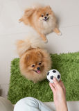 Cute pets pomeranian dog happy playing ball Stock Photography