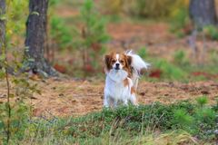 Cute phalene on a walk among the Siberian cedars royalty free stock photos