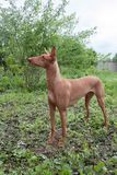 Cute pharaoh hound is standing on a green meadow. royalty free stock images