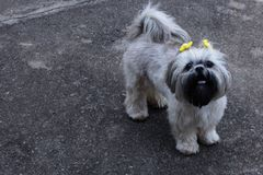 Shih Tzu dog. A cute photo of a dog in my house royalty free stock photography