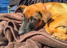 Cute picture of Belgian shepherd, Malinois, puppy resting outside Royalty Free Stock Photos