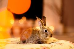 Cute picture of a fluffy grey bunny stock image