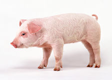 Cute pig Stock Photos