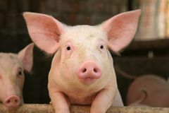 Cute pig Stock Images