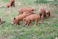 Cute pig Stock Image