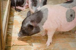 cute pig in cage Stock Images