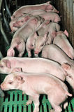 Cute pig Stock Photos