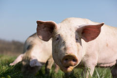 Cute pig in grass. Closeup of a cute pig with large ears in grass Royalty Free Stock Photos