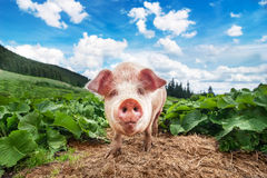 Cute pig grazing at summer meadow at mountains pasturage Stock Photo