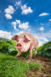 Cute pig grazing at summer meadow at mountains pasturage Royalty Free Stock Photo