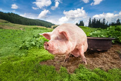 Cute pig grazing at summer meadow at mountains pasturage Royalty Free Stock Photos