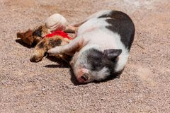 Cute Pig with Its Toy. A cute little black and white pig sleeping in the sunshine with its stuffed toy stock images