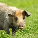 Cute pig portrait Stock Images