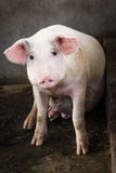 Cute pig sitting and staring into the camera Royalty Free Stock Photography