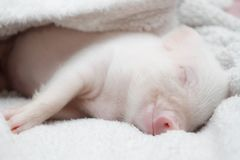 Cute pig sleeps on a striped blanket. Christmas pig royalty free stock photography