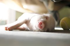Cute pig sleeps on a striped blanket. Christmas pig royalty free stock photos