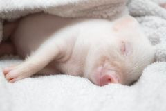 Cute pig sleeps on a striped blanket. Christmas pig stock photo