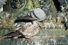 Cute pigeons on Venetian architecture Stock Photos