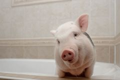 Cute piggy in the bathroom stock photo