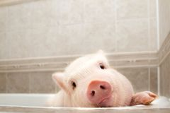 Cute piggy in the bathroom royalty free stock photo