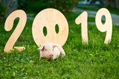 Cute piggy lying near decorative numerals of 2019. Decorative wooden numerals of new 2019 year. Cute piggy lying on green grass near numbers. Pink pig zodiac as stock photos