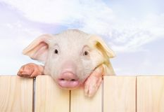 Cute piglet animal hanging on a fence. Fence pig piglet baby animal young animal smile face cute animal Stock Images