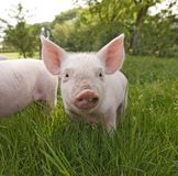 Cute Piglet Close Up stock images
