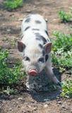 Cute piglet Stock Image